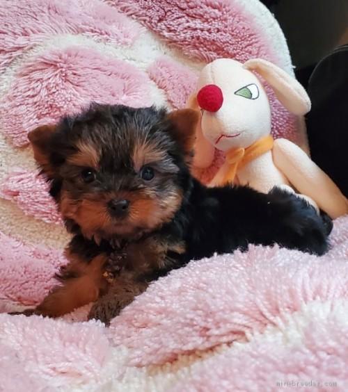 ヨークシャーテリアの子犬(ID:1237111034)の2枚目の写真/更新日:2020-07-30