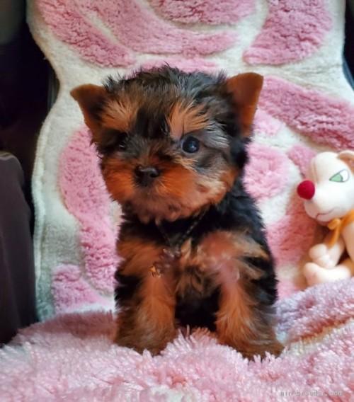 ヨークシャーテリアの子犬(ID:1237111034)の3枚目の写真/更新日:2020-07-30