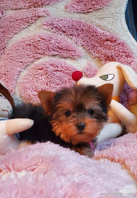 ヨークシャーテリアの子犬(ID:1237111035)の1枚目の写真/更新日:2019-03-15
