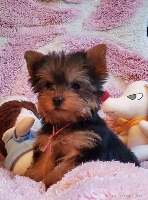 ヨークシャーテリアの子犬(ID:1237111035)の2枚目の写真/更新日:2019-03-15
