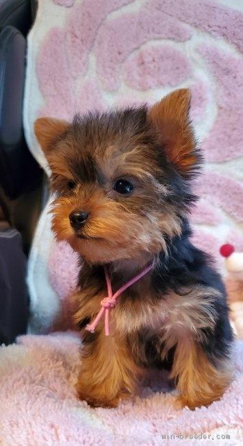 ヨークシャーテリアの子犬(ID:1237111035)の3枚目の写真/更新日:2019-03-15