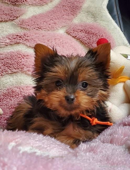 ヨークシャーテリアの子犬(ID:1237111048)の1枚目の写真/更新日:2018-07-23