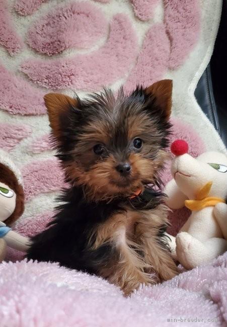 ヨークシャーテリアの子犬(ID:1237111048)の2枚目の写真/更新日:2018-07-23