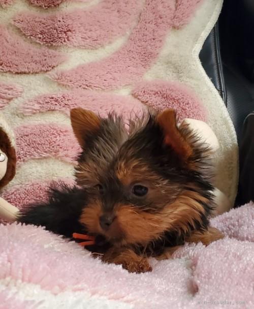 ヨークシャーテリアの子犬(ID:1237111048)の3枚目の写真/更新日:2018-07-23