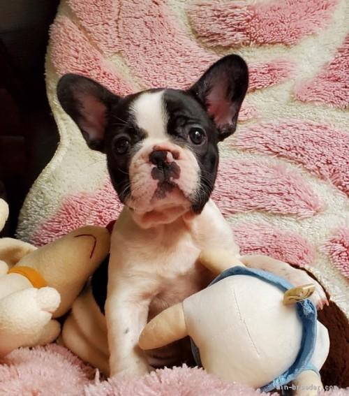フレンチブルドッグの子犬(ID:1237111050)の1枚目の写真/更新日:2018-05-31