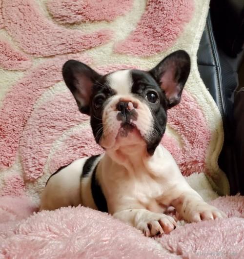フレンチブルドッグの子犬(ID:1237111050)の2枚目の写真/更新日:2018-05-31