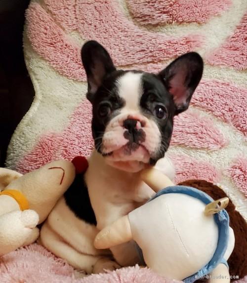 フレンチブルドッグの子犬(ID:1237111050)の4枚目の写真/更新日:2021-04-05