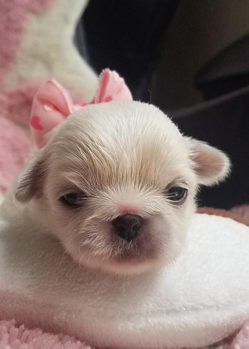 ペキニーズの子犬(ID:1237111051)の1枚目の写真/更新日:2018-08-03