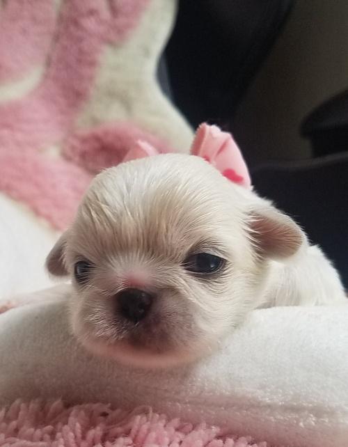 ペキニーズの子犬(ID:1237111051)の2枚目の写真/更新日:2018-08-03