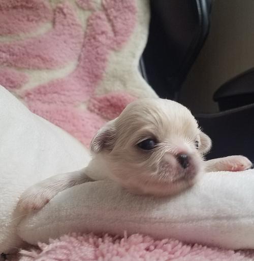ペキニーズの子犬(ID:1237111051)の4枚目の写真/更新日:2018-08-03