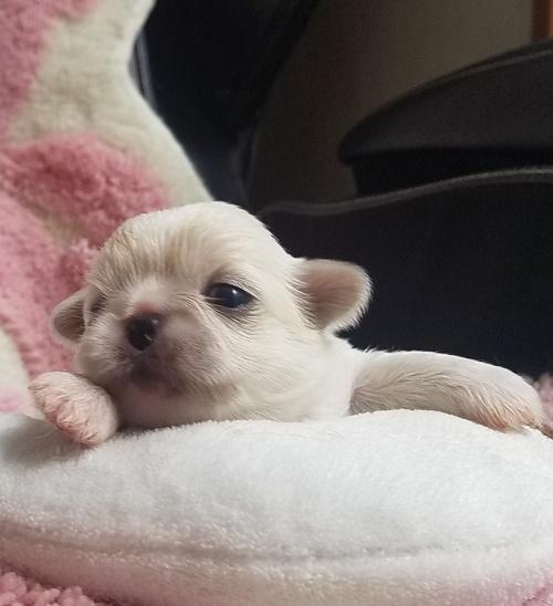 ペキニーズの子犬(ID:1237111051)の5枚目の写真/更新日:2018-08-03