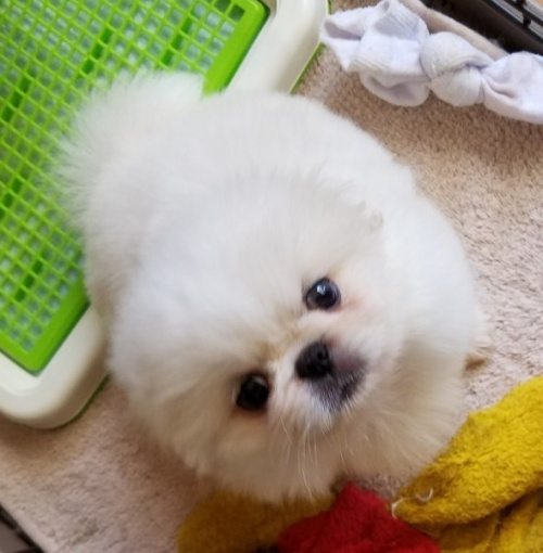 ペキニーズの子犬(ID:1237111052)の1枚目の写真/更新日:2018-08-03