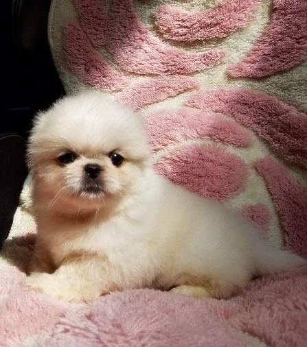 ペキニーズの子犬(ID:1237111052)の2枚目の写真/更新日:2018-08-03
