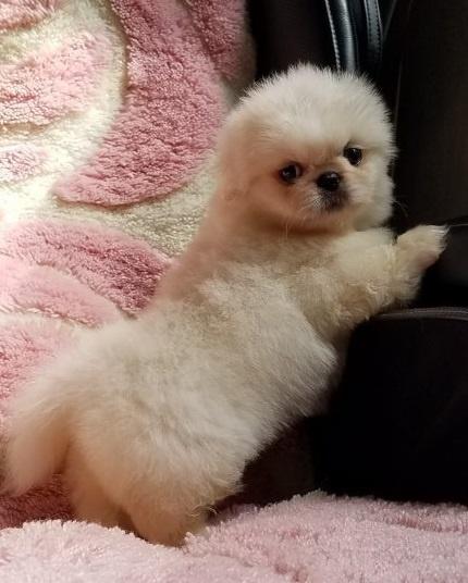 ペキニーズの子犬(ID:1237111052)の3枚目の写真/更新日:2018-08-03
