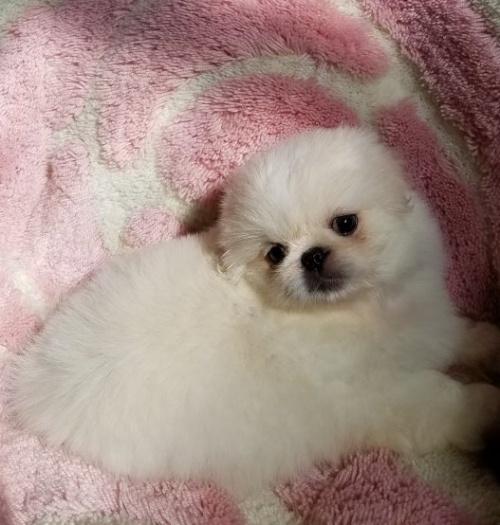 ペキニーズの子犬(ID:1237111052)の4枚目の写真/更新日:2018-08-03