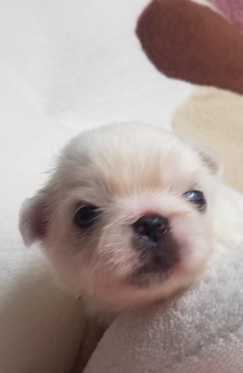 ペキニーズの子犬(ID:1237111053)の1枚目の写真/更新日:2018-08-04