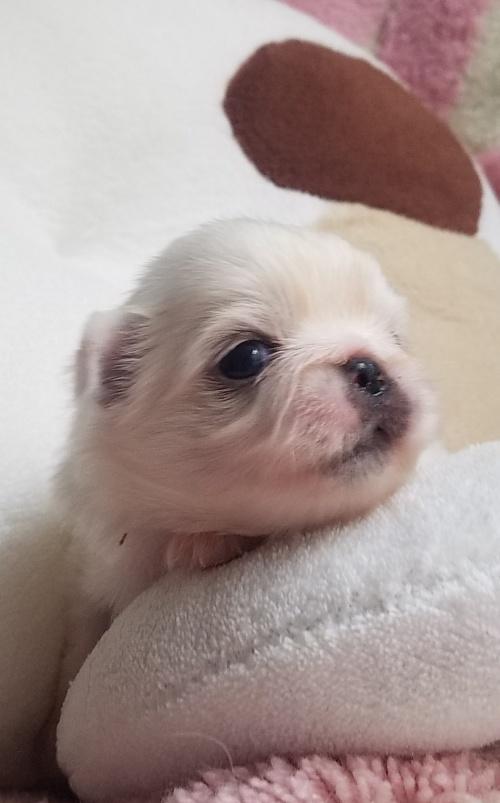 ペキニーズの子犬(ID:1237111053)の2枚目の写真/更新日:2018-08-04