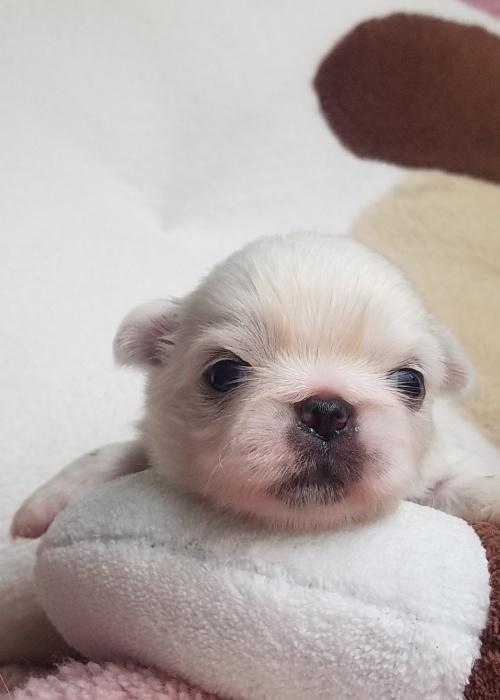 ペキニーズの子犬(ID:1237111053)の3枚目の写真/更新日:2018-08-04