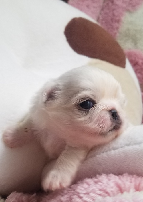 ペキニーズの子犬(ID:1237111053)の4枚目の写真/更新日:2018-08-04