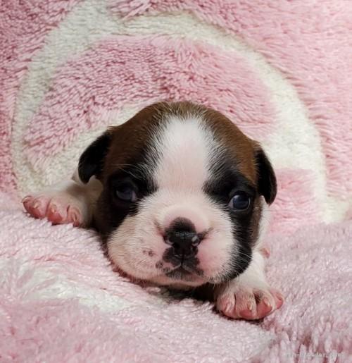 フレンチブルドッグの子犬(ID:1237111055)の4枚目の写真/更新日:2021-04-05