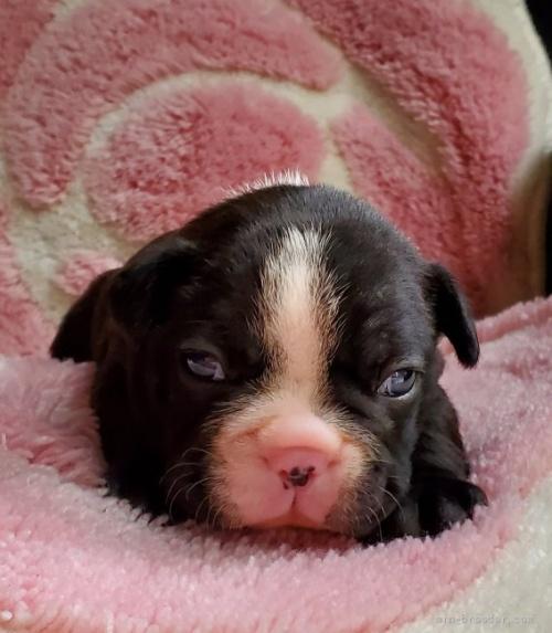 フレンチブルドッグの子犬(ID:1237111058)の1枚目の写真/更新日:2021-10-14