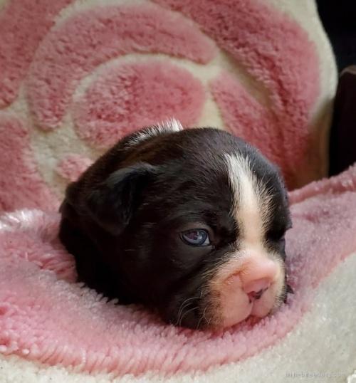 フレンチブルドッグの子犬(ID:1237111058)の4枚目の写真/更新日:2021-10-14