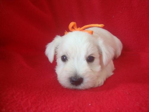 ミニチュアシュナウザーの子犬(ID:1237211052)の2枚目の写真/更新日:2018-10-11