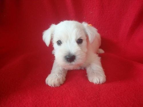 ミニチュアシュナウザーの子犬(ID:1237211052)の3枚目の写真/更新日:2018-10-11