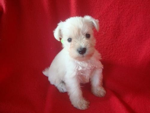 ミニチュアシュナウザーの子犬(ID:1237211053)の2枚目の写真/更新日:2018-10-11
