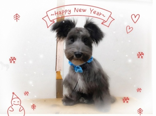 ミニチュアシュナウザーの子犬(ID:1237211054)の1枚目の写真/更新日:2018-11-07
