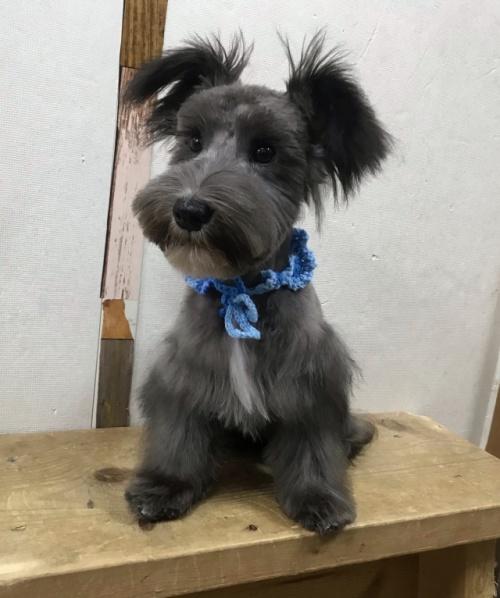 ミニチュアシュナウザーの子犬(ID:1237211054)の2枚目の写真/更新日:2018-11-07