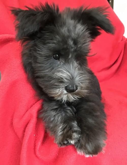 ミニチュアシュナウザーの子犬(ID:1237211054)の3枚目の写真/更新日:2018-11-07