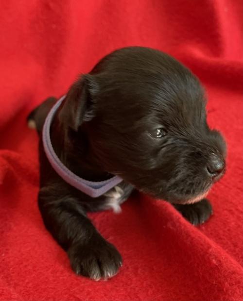 ミニチュアシュナウザーの子犬(ID:1237211055)の4枚目の写真/更新日:2018-11-07