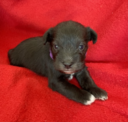 ミニチュアシュナウザーの子犬(ID:1237211056)の2枚目の写真/更新日:2018-10-01
