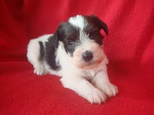 ミニチュアシュナウザーの子犬(ID:1237211060)の2枚目の写真/更新日:2018-06-21