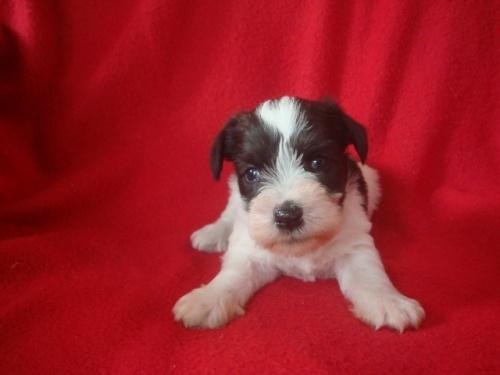 ミニチュアシュナウザーの子犬(ID:1237211060)の3枚目の写真/更新日:2018-06-21