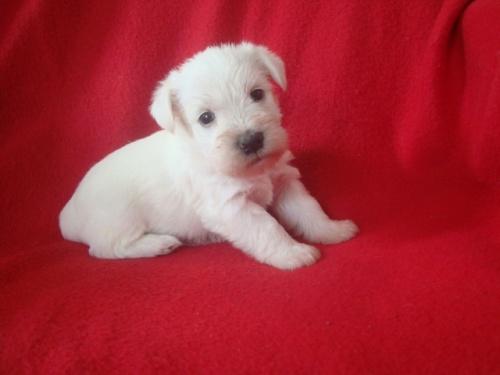 ミニチュアシュナウザーの子犬(ID:1237211067)の3枚目の写真/更新日:2018-06-21
