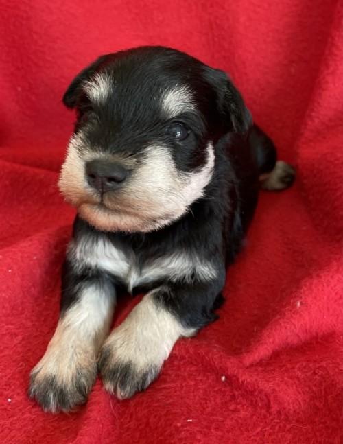 ミニチュアシュナウザーの子犬(ID:1237211069)の1枚目の写真/更新日:2017-02-08