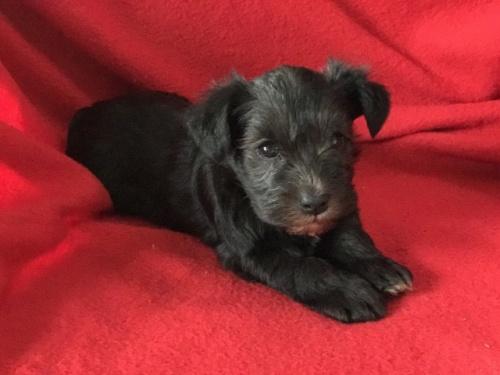 ミニチュアシュナウザーの子犬(ID:1237211073)の3枚目の写真/更新日:2017-03-06