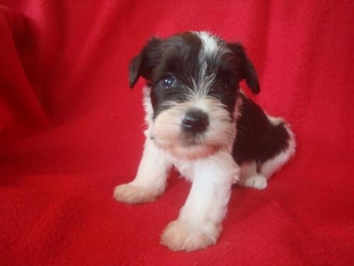 ミニチュアシュナウザーの子犬(ID:1237211079)の1枚目の写真/更新日:2018-06-21