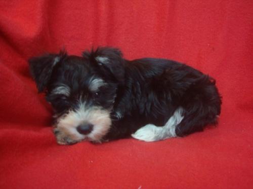 ミニチュアシュナウザーの子犬(ID:1237211087)の5枚目の写真/更新日:2017-09-19