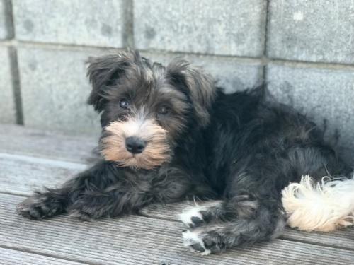 ミニチュアシュナウザーの子犬(ID:1237211089)の1枚目の写真/更新日:2017-09-19