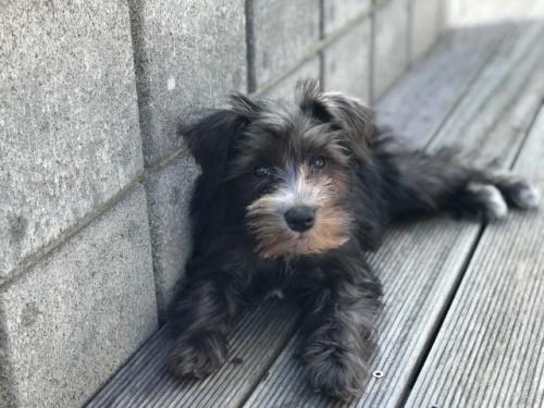 ミニチュアシュナウザーの子犬(ID:1237211089)の4枚目の写真/更新日:2017-09-19