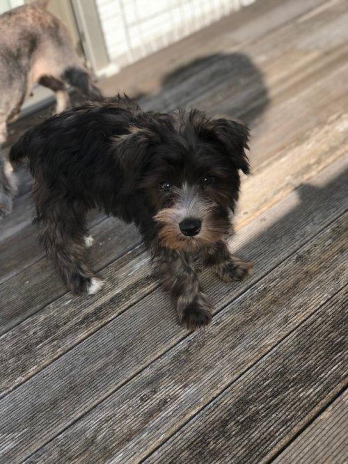 ミニチュアシュナウザーの子犬(ID:1237211089)の5枚目の写真/更新日:2017-09-19