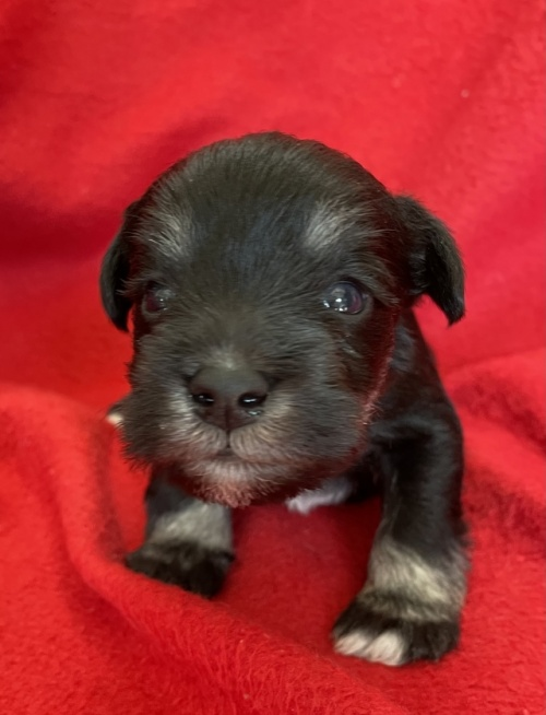 ミニチュアシュナウザーの子犬(ID:1237211093)の4枚目の写真/更新日:2017-09-25