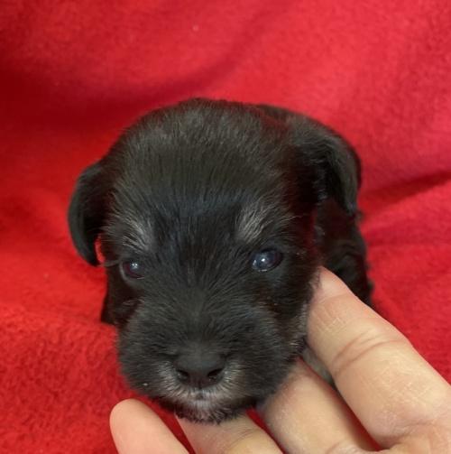 ミニチュアシュナウザーの子犬(ID:1237211093)の5枚目の写真/更新日:2017-09-25