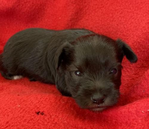 ミニチュアシュナウザーの子犬(ID:1237211094)の2枚目の写真/更新日:2017-09-19