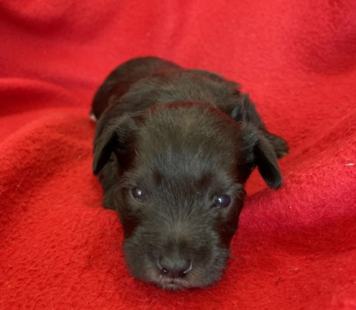 ミニチュアシュナウザーの子犬(ID:1237211094)の3枚目の写真/更新日:2017-09-19