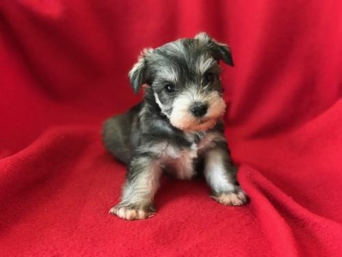 ミニチュアシュナウザーの子犬(ID:1237211097)の1枚目の写真/更新日:2017-12-28