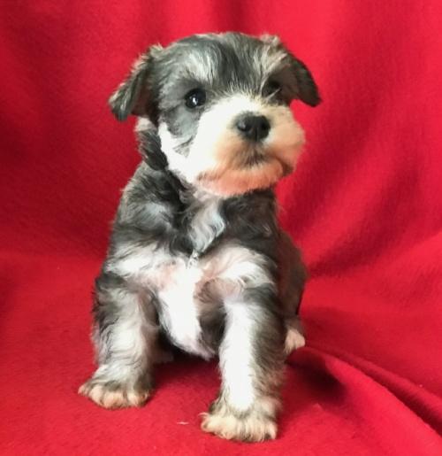 ミニチュアシュナウザーの子犬(ID:1237211097)の3枚目の写真/更新日:2017-12-28